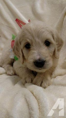 goldendoodle puppies for sale in missouri goldendoodle puppies for sale in cuba missouri classified americanlisted
