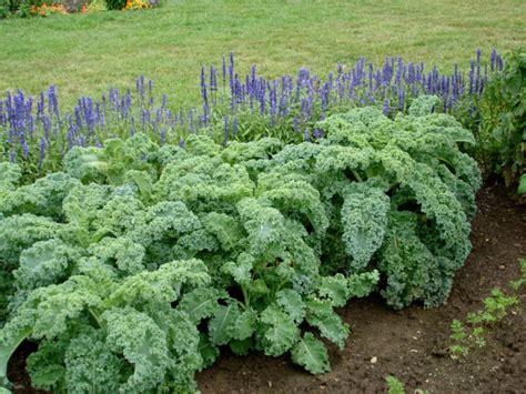 Kale Garden growing kale bonnie plants