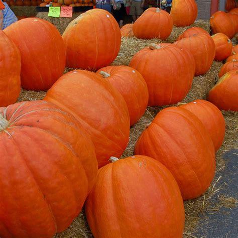 pumpkins australia australian seed pumpkin big max