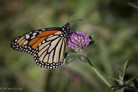 of a butterfly ebutterfly news ebutterfly