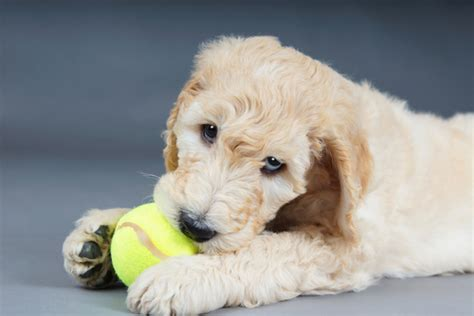 goldendoodle lifespan goldendoodle breed information puppies pictures