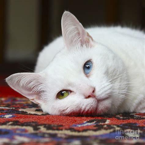 white pussy cat charlie the white pussy cat photograph by terri waters