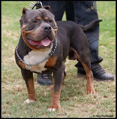 is a rottweiler stronger than a pitbull blue nose rottweiler