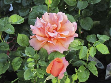how to plant roses mulching roses watering roses garden roses in boulder co mile hi rose feed