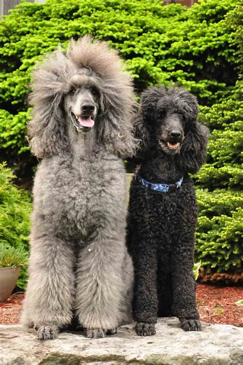 poodle colors standard poodles standard poodle colors i