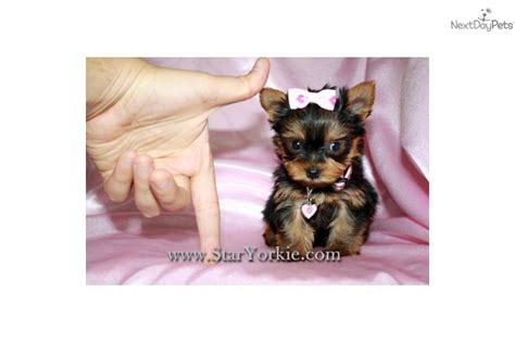 puppy teacup yorkie for sale yorkies for sale akc terrier puppies teacup yorkie puppies breeds picture