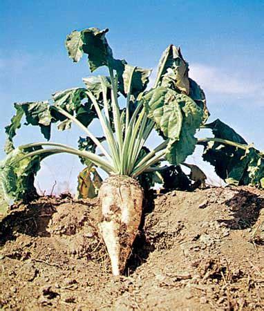 sugar beet plant britannica
