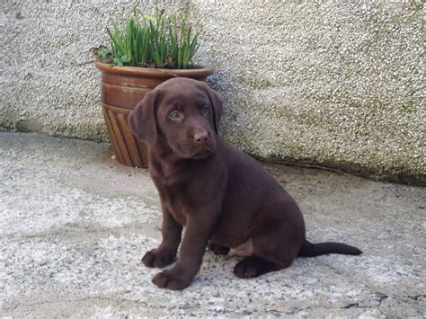 brown lab puppies for sale chocolate lab puppies quotes