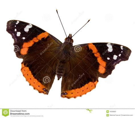 red admiral butterfly stock image image of wing insect