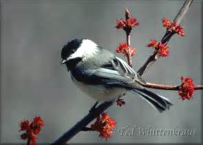 Ma State Bird And Flower - gallery for gt state bird chickadee