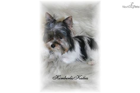 biewer yorkie for sale in ga yorkie puppy for sale atlanta ga picture breeds picture