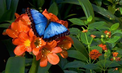 imagenes de mariposas morfo azul morpho bleu