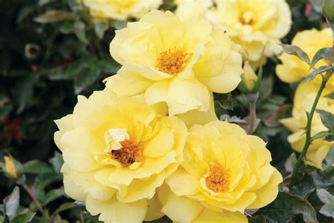 the best roses for a shaded garden