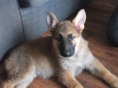 german sheperd puppies for sale german shepherd puppies for sale wirral merseyside pets4homes