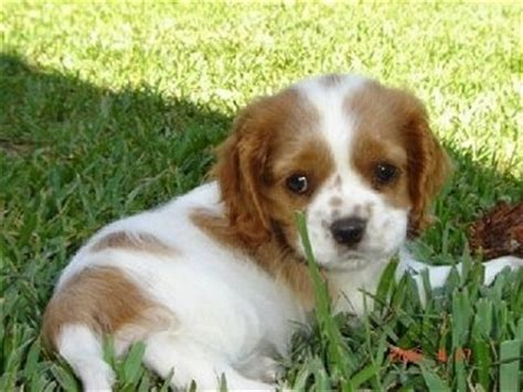 king charles cocker spaniel puppies cockalier breed pictures