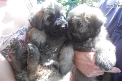 bouvier des flandres puppies for sale bears bouvier des flandres puppy for sale near portland oregon 2dff7cb5 e241