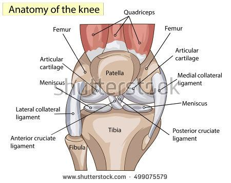 parts of knee diagram anatomy knee joint cross section showing stock vector