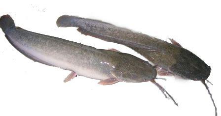 Pakan Bibit Ikan Lele budidaya lele dumbo permata farm