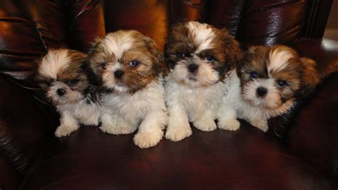 cavalier x shih tzu puppies for sale adorable shih tzu puppies for free adoption dogs for sale breeds picture