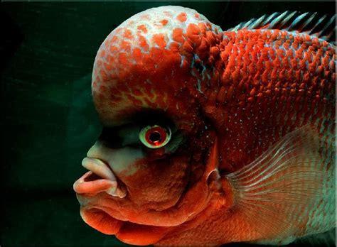 Makanan Ikan Hias Louhan makanan ikan louhan biar jenong mau tau nama nama hewan