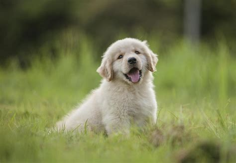 Puppy Golden Retriever golden retriever puppies details