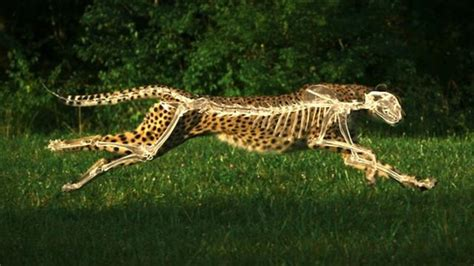How Fast Can Jaguars Run The Science Of Speed