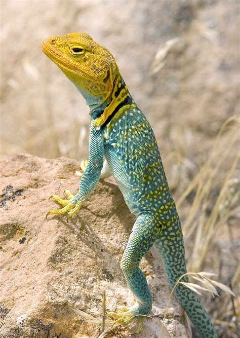 lizards archives wild  utah