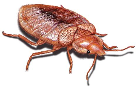 Are Bed Bugs Flat by Thin Bed Bug Related Keywords Suggestions Thin Bed Bug
