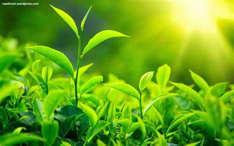 Teh Hijau Dan Manfaatnya wooww teh bermanfaat untuk kesehatan dan penyembuhan