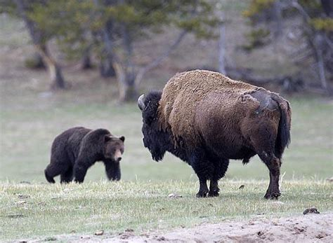 The Bison is the Grizzlies biggest predator. - Montana ...