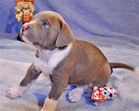 lab boxer puppy zack the lab boxer puppy s web page