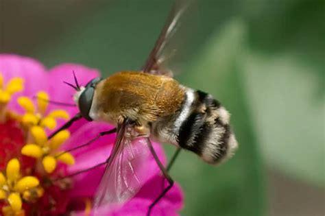 acts like a hummingbird moth heterostylum robustum