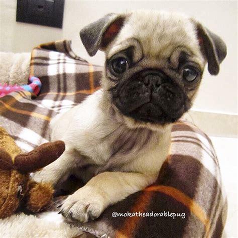 pug social social pug profile moka the adorable pug the pug diary