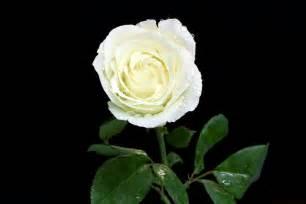 imagenes de rosas rojas y blancas image gallery imagenes de rosas blancas