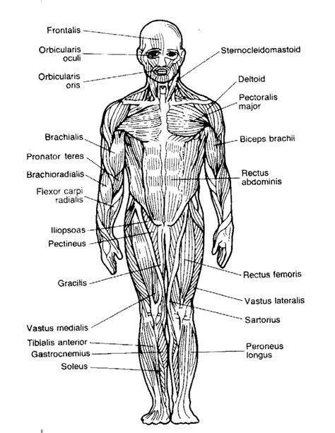 musculoskeletal system diagram diagrams biology muscular system anatomy list