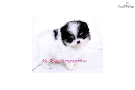 pomeranian puppies for sale in new orleans sale dogs puppies next day pets find pomeranian puppies for sale breeds picture