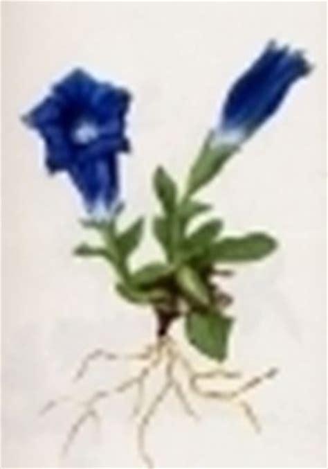 genziana fiore gentiana acaulis gentiana acaulis vegetazione