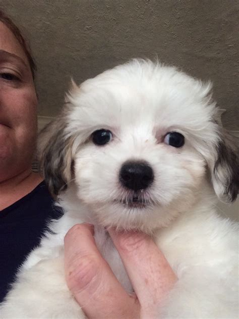crested shih tzu chinease crested shih tzu cross puppies nottingham