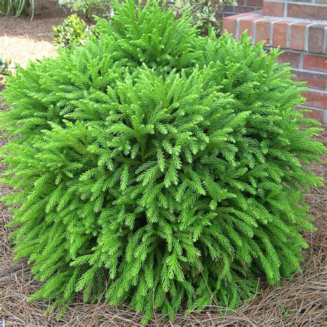 Asia Garten Pflanzen by Cryptomeria Globosa Nana Oregon Friendly Landscaping