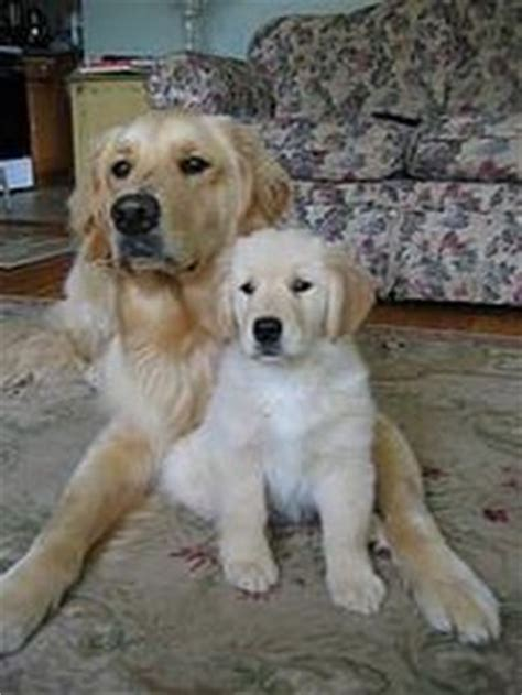 characteristics of golden retriever golden retriever characteristics