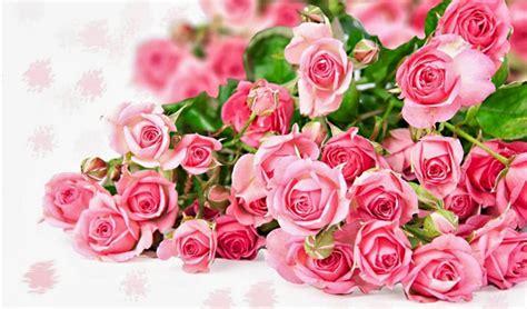 Tanaman Hias Bunga Mawar Floribunda Pink tanaman hias