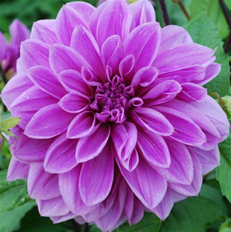 Home Decorative Items Online dahlia lilac time