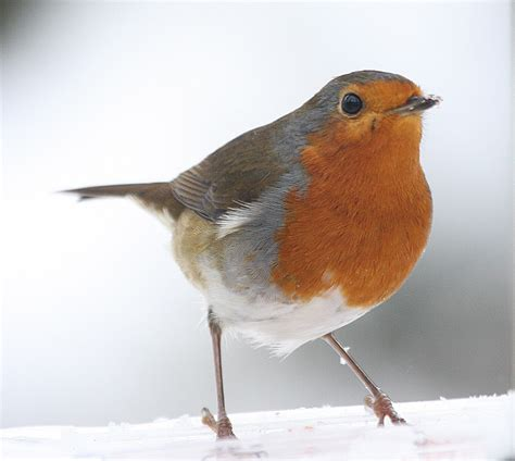 the robin gallery photography wildlife the rspb