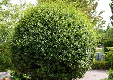 wann liguster pflanzen liguster pflanzen schwarzgr ner liguster 39 atrovirens 39