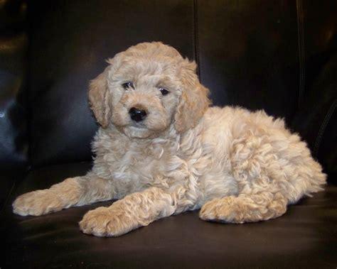 goldendoodle puppy jacksonville 17 best images about doodles on kinds