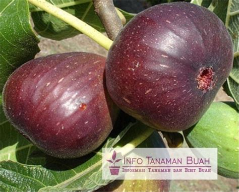 Bibit Tin Purple bibit tin purple buah tin berwarna ungu ukuran