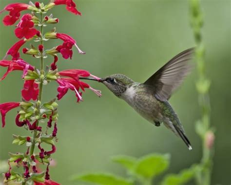 plants that attract hummingbirds covingtons