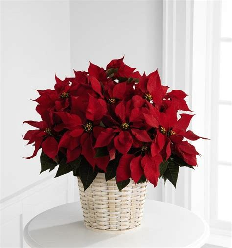 1000 images about poinsettias on pinterest poinsettia