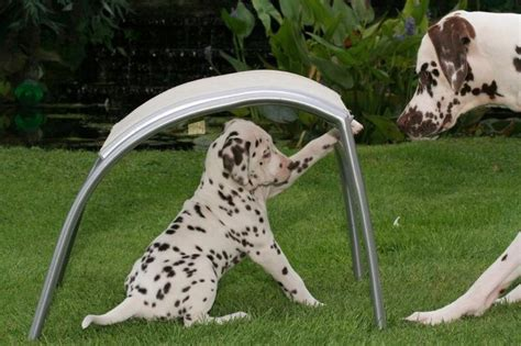 how much do dalmatian puppies cost dalmatian puppy jpg 2 comments