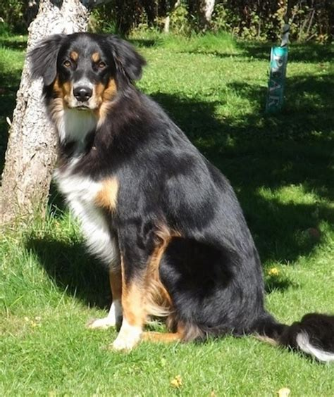 rottweiler australian shepherd mix mixed breed pictures with bios 44
